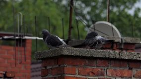 Two doves sit on a concrete plate covering a chimney of a house in slo-mo. An impressive view of two grey doves cleaning their feather on a concrete plate placed stock video