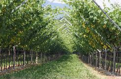 Impressive vineyard grape growing and wine production Stock Photo