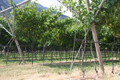 Impressive vineyard grape growing and wine production. In Italy Royalty Free Stock Photos