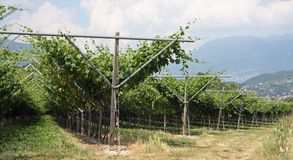Impressive vineyard grape growing and wine production Stock Photography