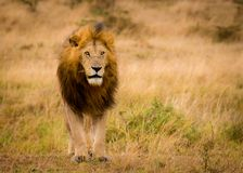 Impressive wild male of Lion Panthera leo from the nature reserve Mara North Conservancy in Kenya. stock image
