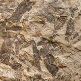 Imprint of fossil prehistoric plant leaves on stone Stock Image