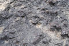 The imprint of a large shell. The print of Ammonite on the rock Stock Image