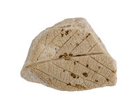 Imprint leaf fossil plants. Quercus kamischinensis. Isolated on white Royalty Free Stock Photos