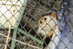 Imprison Red-shanked douc. In the zoo royalty free stock photo