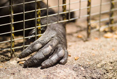 Imprisoned gorilla Stock Photos