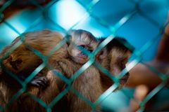 Imprisoned monkeys Royalty Free Stock Photos