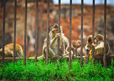 Imprisoned Monkeys Royalty Free Stock Images