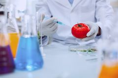 Smart knowledgeable scientist testing tomatoes. Improving quality. Intelligent professional biologist wearing a uniform and testing tomatoes royalty free stock photography