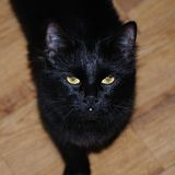 Black Cat. Impudent black cat looking at the camera royalty free stock photos