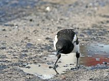 Impudent and mean magpie. Impudent and mean magpie, standing in an oil pool Royalty Free Stock Images