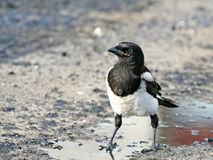 Impudent and mean magpie. Impudent and mean magpie, standing in an oil puddle Royalty Free Stock Image