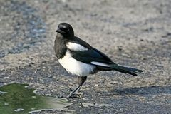 Impudent and mean magpie. Surprised magpie, standing in an oil puddle Stock Image