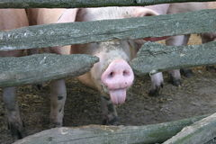 Impudent pig Stock Photo