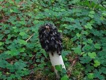 Impudicus comum do falo do cogumelo de Stinkhorn imagem de stock royalty free