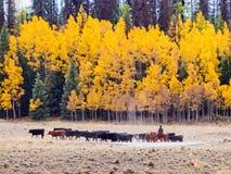 Impulsión del ganado Fotografía de archivo libre de regalías