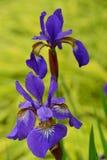Impulsión oval mediana de la orilla del jardín de los iris siberianos púrpuras Foto de archivo libre de regalías