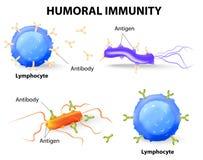 Imunidade Humoral. Linfócito, anticorpo e antígeno Fotografia de Stock Royalty Free