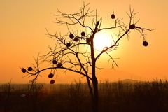 The silhouette of a persimmon tree under the golden sunset Royalty Free Stock Photography