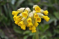 Free In Spring, Primrose Primula Veris Blooms In Nature Stock Photos - 166428223