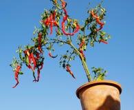 In The Flowerpot Of Pepper Tree Stock Photo