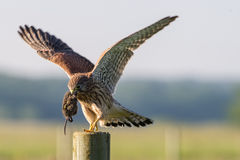 In The Kestrel S Beak Stock Photo
