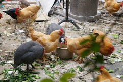 Free In The Outdoor Breeding Chickens Royalty Free Stock Photography - 53125287