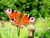 Inachis/aglais io butterfly close-up photo in nature Royalty Free Stock Photos