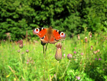 Inachis/aglais io butterfly close-up photo in nature stock images