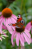 Inachis butterfly Stock Image