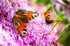 Inachis E/S de papillon de paon photos libres de droits
