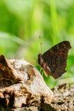 Inachis E/S de papillon de paon se reposant sur le bois Image stock