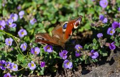 Inachis E/S, papillon Images stock