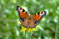 Inachis io. Butterfly Inachis io in National Park Mala Fatra, Slovakia stock images