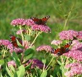 Inachis io-butterflys Stockbilder