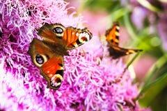 Inachis io de la mariposa de pavo real Fotos de archivo libres de regalías
