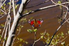 Inachis io del Nymphalidae de la mariposa de pavo real Imagen de archivo libre de regalías