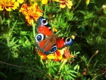 Inachis io della farfalla al tagete del fiore Fotografie Stock Libere da Diritti