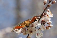 Inachis io en el flor Fotos de archivo libres de regalías