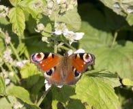 Inachis Io Europejski pawi motyl Fotografia Stock