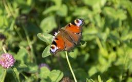 Inachis io, Nymphalidae, η πεταλούδα της συνεδρίασης ματιών Peacock επάνω Στοκ Εικόνες