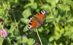 Inachis io, Nymphalidae, the butterfly of Peacock eye sitting on Stock Images