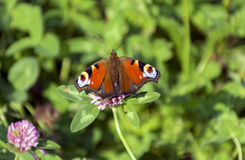 Inachis io, Nymphalidae butterfly sitting in a meadow on the flo Royalty Free Stock Images