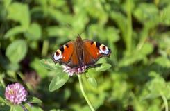 Inachis io, Nymphalidaefjärilssammanträde i en äng på floen Royaltyfria Bilder
