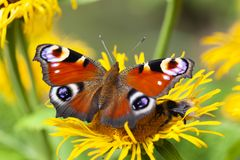Inachis io or peacock butterfly Royalty Free Stock Photos