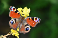 Inachis Io, Peacock butterfly Royalty Free Stock Photography