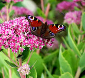 Inachis io-Schmetterling Lizenzfreies Stockbild