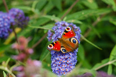 Inachis io sitting on a blue flower royalty free stock photos