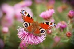 Inachis io (Vlinder) Stock Foto's