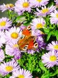 Inachisvlinder die met open ogen van een asterbloem voeden Stock Afbeelding